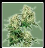 Maple Leaf Indica Hanfsamen kaufen