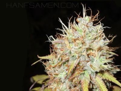 Marihuana Hintergrund